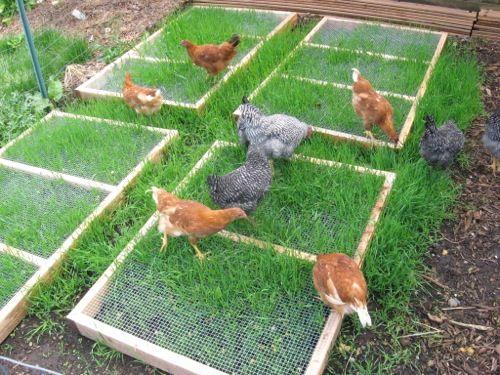 CHicken grass feeder.jpg